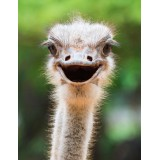 Ostrich head close up laughing