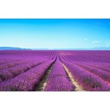Blooming lavender fields